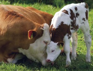 loving-mother-cow-and-calf1
