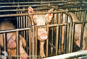 pig_gestation_crates1